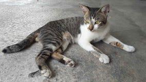 De kat die van de gestreepte kat de camera bekijkt Stock Foto's