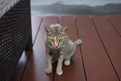 De kat die van de gestreepte kat de camera bekijkt stock afbeeldingen