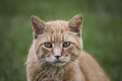 De kat die van de gestreepte kat de camera bekijkt Royalty-vrije Stock Afbeeldingen