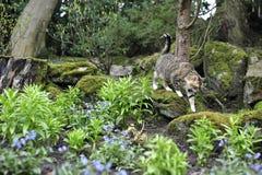 De Kat die van de gestreepte kat langs Rotsen loopt Royalty-vrije Stock Foto's