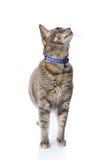 De kat die van de gestreepte kat omhoog eruit ziet Stock Afbeeldingen