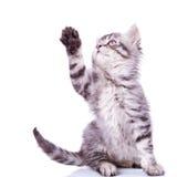 De kat die van de gestreepte kat voor iets bereikt stock afbeeldingen