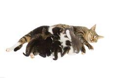 De kat die van de moeder haar katjes verzorgt. Stock Fotografie