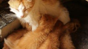 De kat die van de moeder haar katjes voedt stock videobeelden