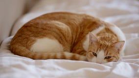 De kat die van de slaapgember op het bed liggen stock videobeelden