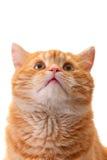De kat die van de verrassing omhoog eruit ziet Stock Afbeeldingen