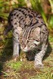 De Kat die van de visserij in de Zonneschijn van de Middag rondsnuffelt Stock Afbeelding