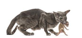 De kat die van moederpeterbald haar nieuw dragen - geboren baby in haar mond royalty-vrije stock afbeeldingen