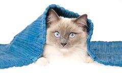 De kat die van Ragdoll onder blauwe deken ligt Royalty-vrije Stock Afbeelding