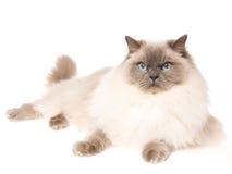 De kat die van Ragdoll op witte achtergrond ligt Stock Foto