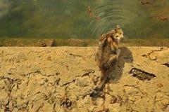 De kat drinkt water Royalty-vrije Stock Foto's