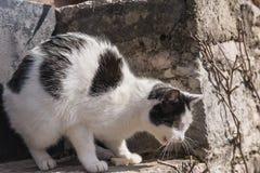 De kat in een dreigende houding, beschermt uw prooi royalty-vrije stock afbeelding