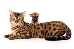 De kat en chihuahua van Bengalen Stock Afbeeldingen