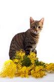 De kat en de mimosa van Bengalen Stock Foto's