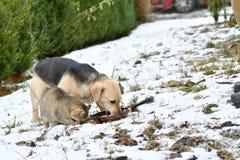 De kat en de hond het vriendschappelijke samen eten van de huisdierenkip Royalty-vrije Stock Fotografie