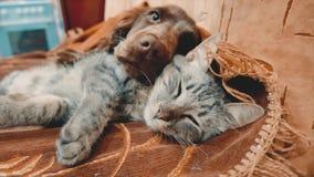 De kat en de levensstijl een hond slapen samen grappige video kat en hondvriendschap binnen van de huisdierenvriendschap en liefd stock video