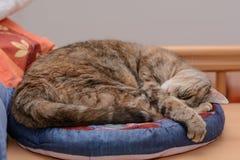 De kat geniet van liggend in het kattenbed Stock Fotografie