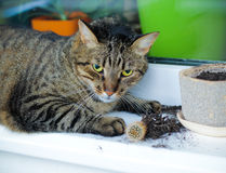 De kat groef een cactus uit Royalty-vrije Stock Afbeeldingen