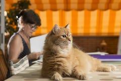 De kat in het huisbureau, die op de het werklijst zitten stock afbeeldingen