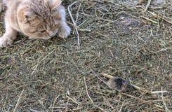 De kat jaagt de muis Stock Afbeeldingen