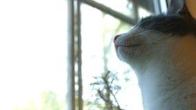 De kat kijkt uit het venster 2 schoten Close-up stock footage