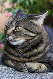De kat legt haar oren en het kijken verrast Stock Foto's