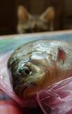De kat let op Ruwe Vissen alvorens te koken Stock Fotografie
