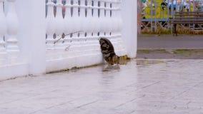 De kat leunt uit van achter de omheining en drinkt water van de vulklei stock footage