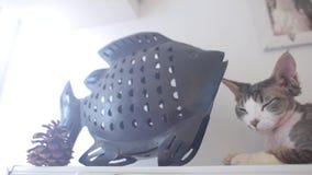 De kat ligt dichtbij de vissen stock video