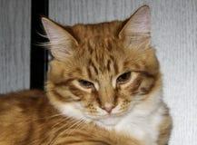 De kat ligt op de grijze houten achtergrond Stock Fotografie