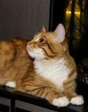 De kat ligt op de grijze houten achtergrond Stock Foto