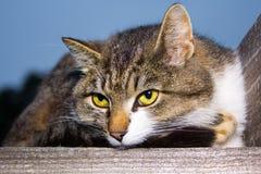 De kat ligt op een houten oppervlakte Stock Afbeelding