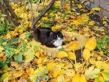 De kat ligt op de gele gevallen bladeren in de werf van de herfst Stock Fotografie