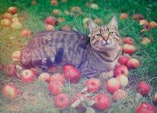 De kat ligt op het gras onder rode appelen Stock Afbeeldingen