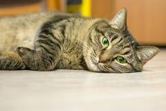 De kat ligt op de vloer en kijkt recht in de camera Concept: rust, huisdieren, ontspanning royalty-vrije stock afbeelding