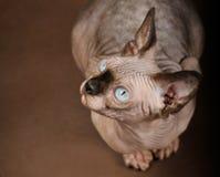 De kat met blauwe ogen van Sfinxras zit op bruine achtergrond Stock Fotografie