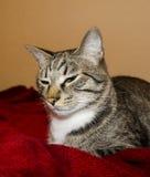 De kat met groene ogen ligt onder de rode deken stock fotografie