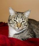 De kat met groene ogen ligt onder de rode deken Royalty-vrije Stock Afbeeldingen