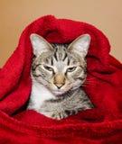 De kat met groene ogen ligt onder de rode deken Stock Afbeeldingen