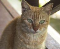 De kat met heldergroene ogen staart bij u Royalty-vrije Stock Afbeeldingen