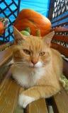 De kat met pompoenen Stock Foto's