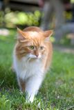 De kat neemt een gang op gras dichte omhooggaand Royalty-vrije Stock Fotografie
