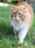 De kat neemt een gang op het gras stock foto's