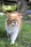 De kat neemt een gang op het gras royalty-vrije stock afbeelding