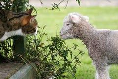 De kat ontmoet een lam Royalty-vrije Stock Afbeeldingen
