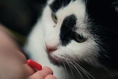 De kat ontvangt een dosis geneeskunde van de dierenarts De roodharige leuke slimme kat wordt behandeld met pillen na stock foto