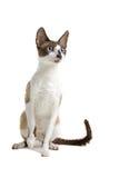 De kat Rex van Cornwall Stock Afbeeldingen