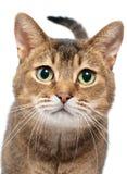 De kat in studio met nieuwsgierigheid ziet eruit Stock Foto