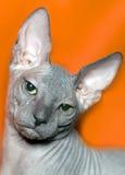 De kat trekt sfinx aan Stock Afbeelding