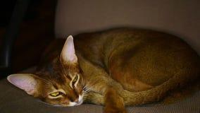 De kat van Abyssinian stock footage